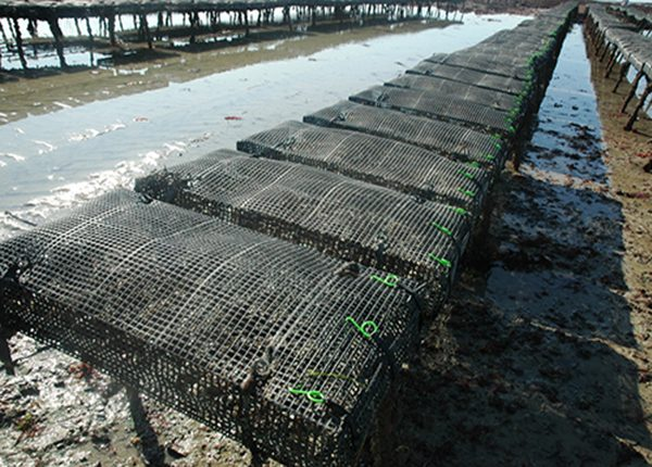 Caged Bags are the heaviest oyster bags available and come moulded and ready-to-use. They provide the largest volume available on the market today.