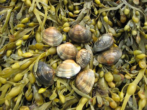 Clams | Palourdes | Live Shellfish