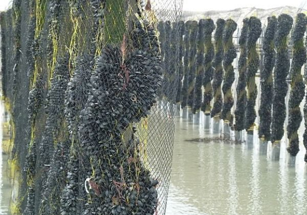 These rolls of mussel mesh are used for the growing of Bouchot mussels. The seed is collected in the mesh and then wrapped around the pole for on-growing.