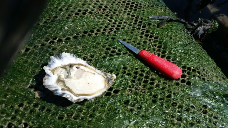 Bio fouling on your oyster bags decreases water flow and food delivery thereby negatively affecting growth rates and increasing stress on your oysters.