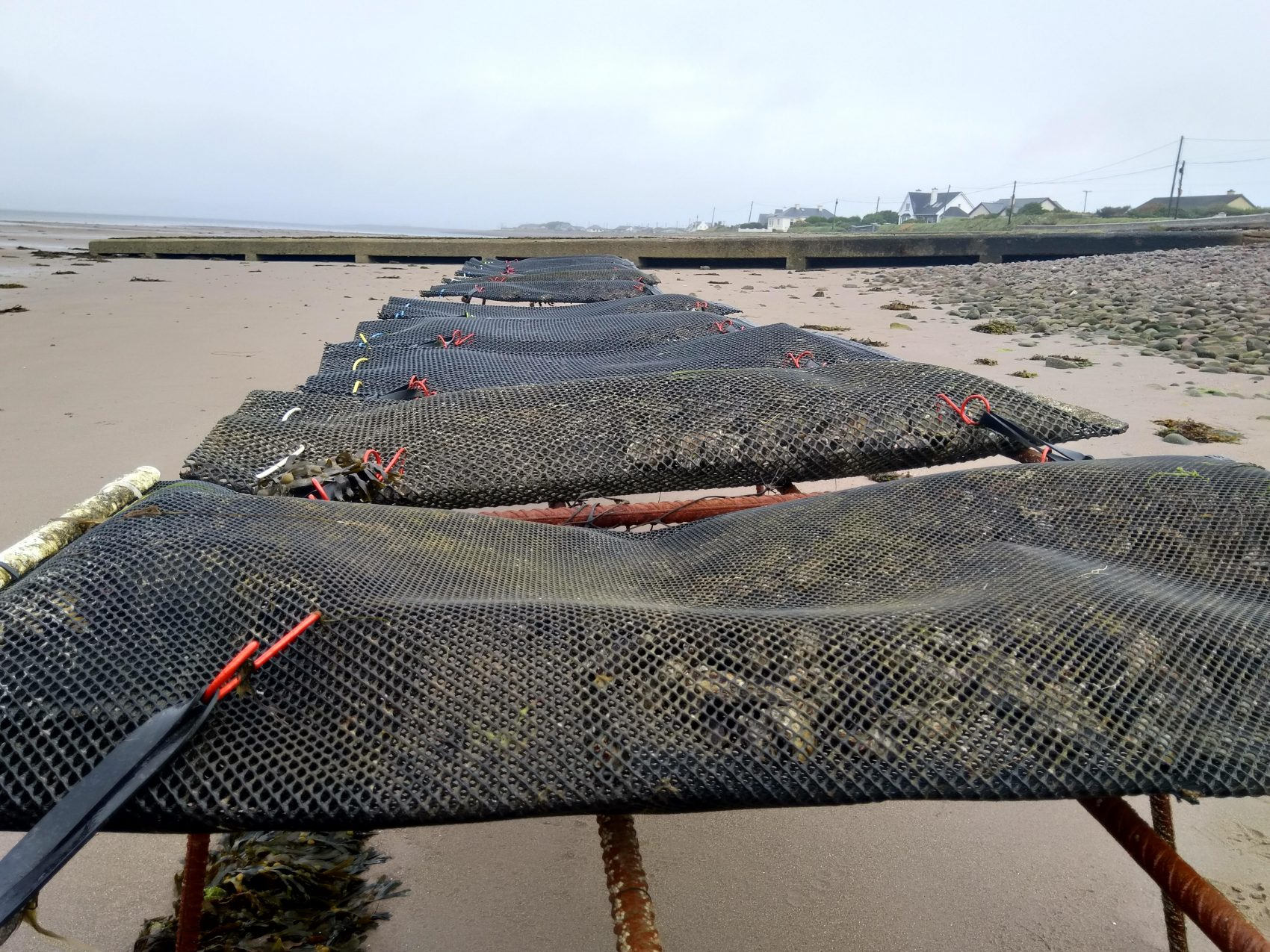 Rack and bag oyster cultivation